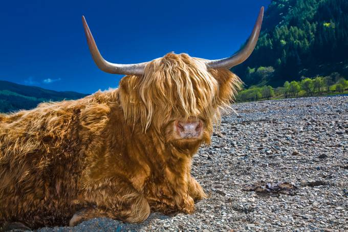 Highland cow-1 by sildsa - Above Or Below Photo Contest