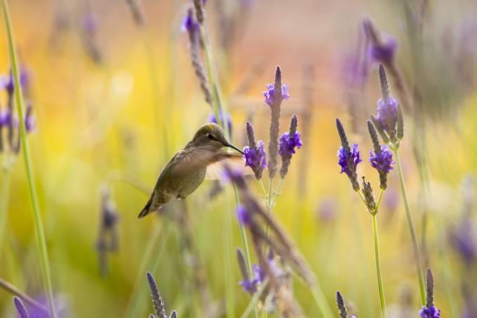 Hummingbird by katmailover - Hummingbirds Photo Contest