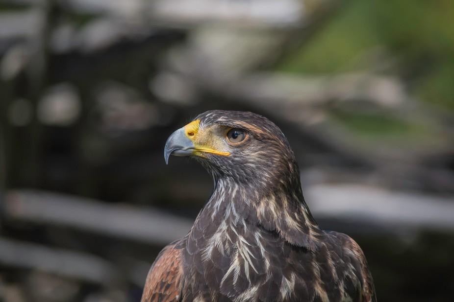 This beautiful hawk was shot last fall.