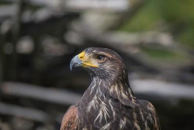 Harris Hawk Head