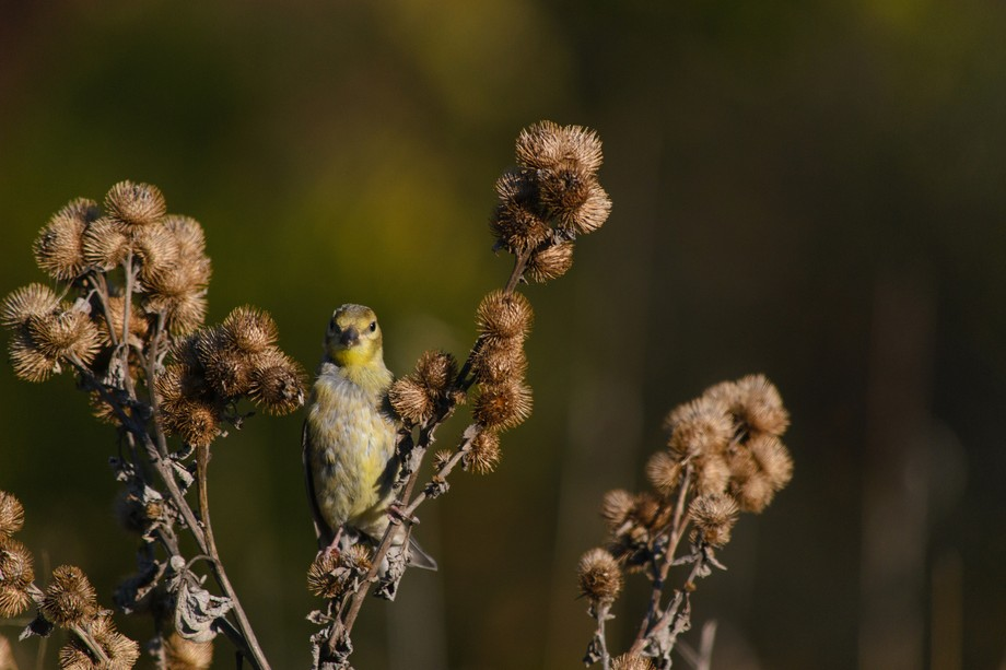 Got a quick shot off just before the goldfinch took off.