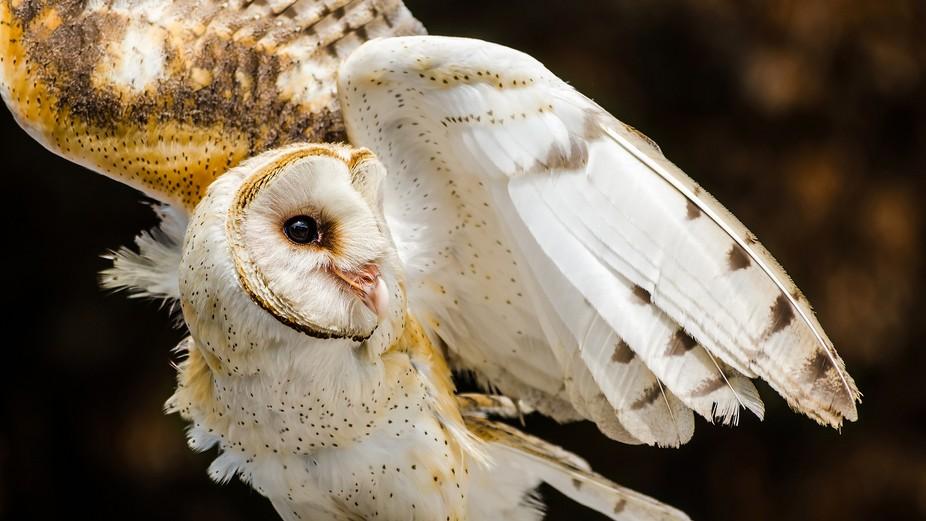 Angelic Owl