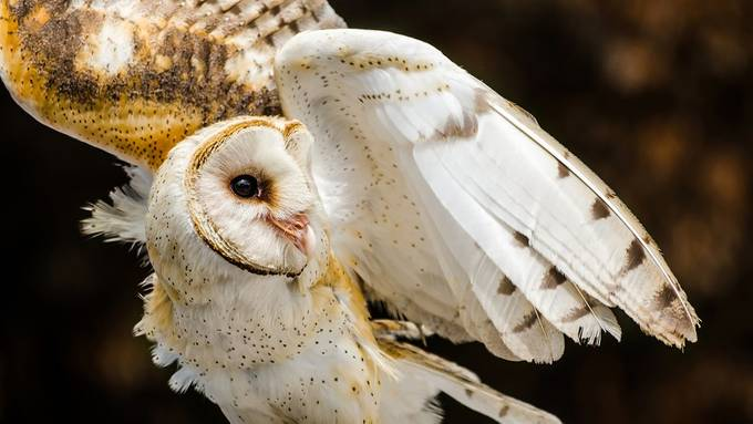 Angelic Owl by natosed - Animals And Rule Of Thirds Photo Contest
