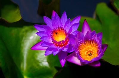 Beautiful Lotus Family