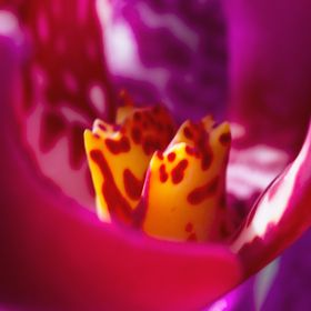 Macro shot of Orchid flower