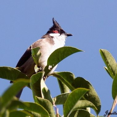 The Red-Whiskered Bulbul is a native to Southern Asia but was introduce into Sydney,  Australia in 1880