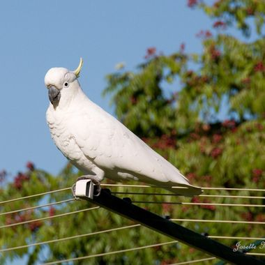 Sulphur-Crested Cockatoo -