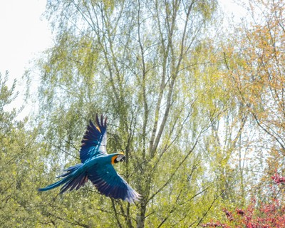 Macaw takes flight