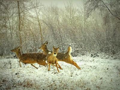 Fleet as a Deer