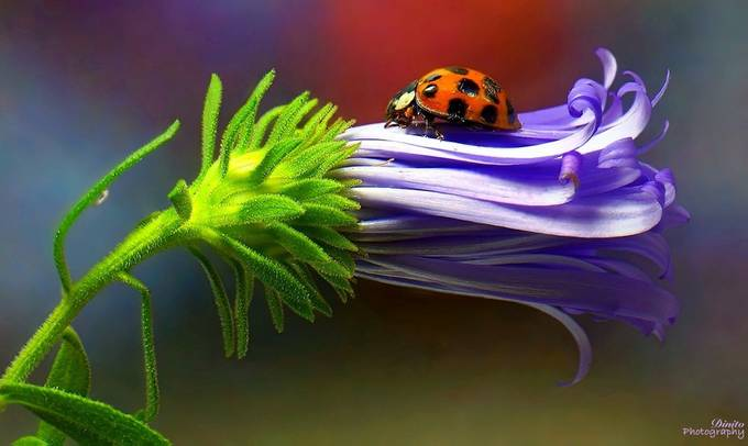 Ladybug ll by Grestrepo13 - The Colors Photo Contest