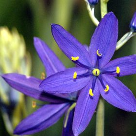The Purple Camas Flower is native to the Pacific Northwest of North America.