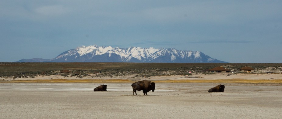 Wild Bison that live on Antelope Island in the Great Salt Lake, UT