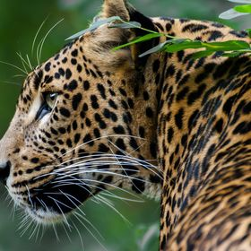 Jaffna must be the most beautiful leopard that I have ever seen... She's 3 years old and an absolute beauty...