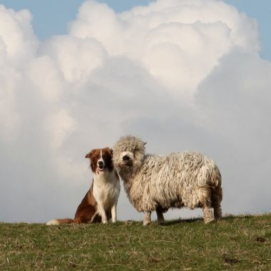 Border Collie sheepdog and Dartmoor Greyface sheep, best of friends