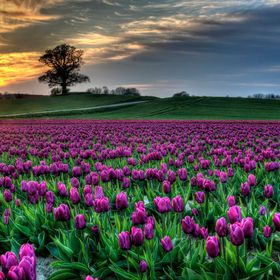 The fields of tulips in the sunset