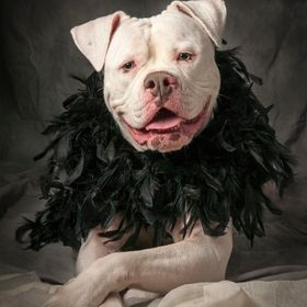 Mama, a rescued American Bulldog, dons a boa and becomes a fashion model.