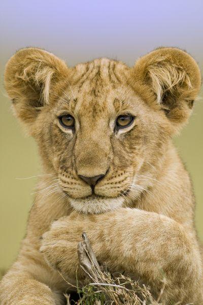 Kenyan Lion Cub