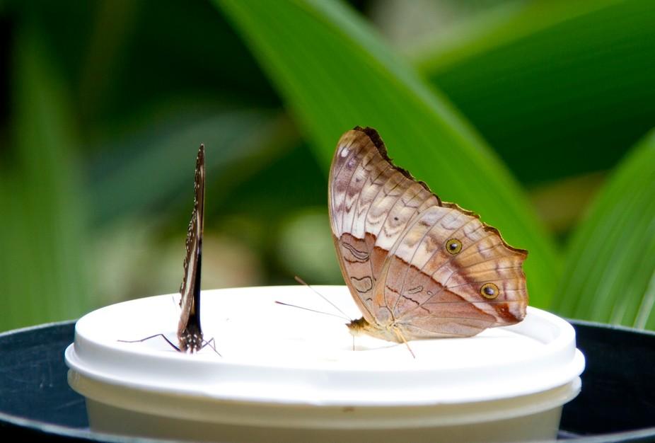 Taken at Kuranda Butterfly Sanctuary in Queensland.