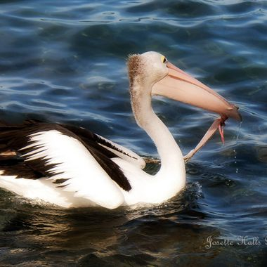If a Pelican Can........Anybody Can