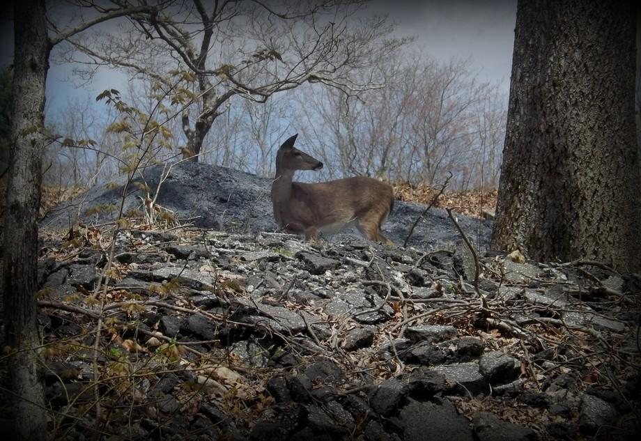 Beautiful doe at Camp Greenville, SC