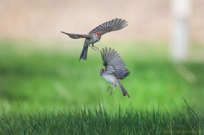 Chipping Sparrows fighting over territory