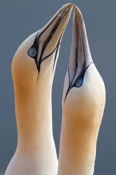 Northern gannets in love