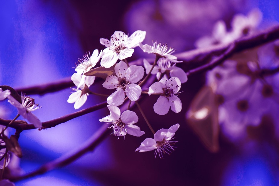 A photo of white flowers on a tree with a purple coloring added to them.