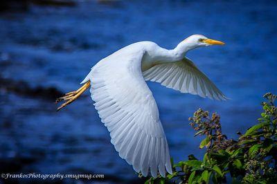 Cattle Egret - Maui