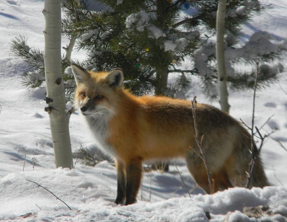 Colorado red fox