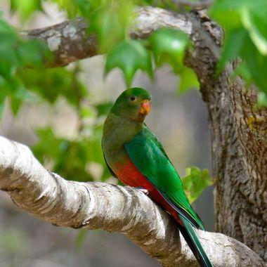 Fem King Parrot