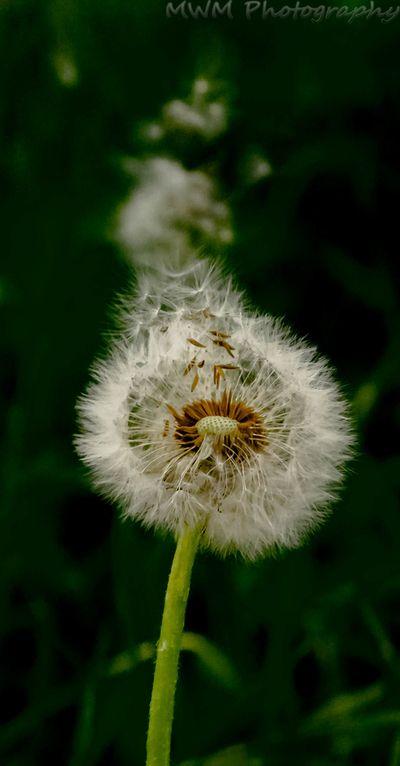 escaping dandelion