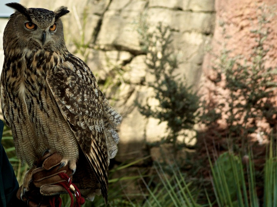 Eurasian Owl - Forest