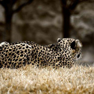cheetah II