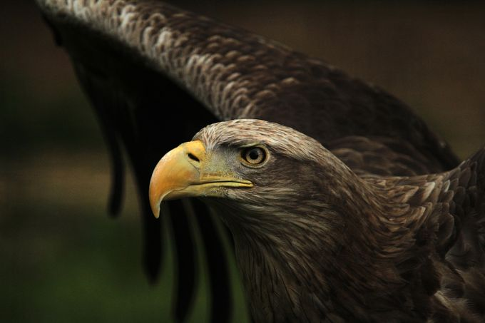 White Tailed Sea Eagle by KIRWAN - Majestic Eagles Photo Contest