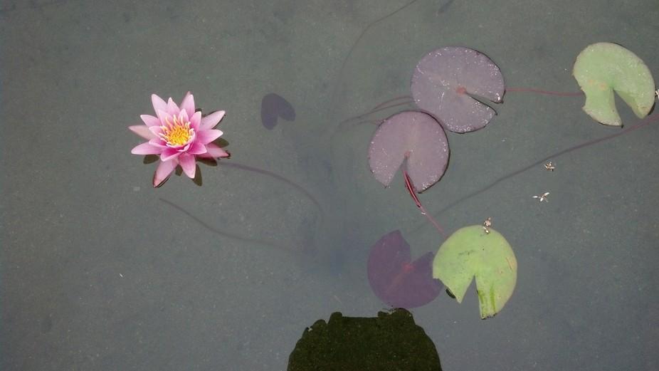 lily pond 20130630