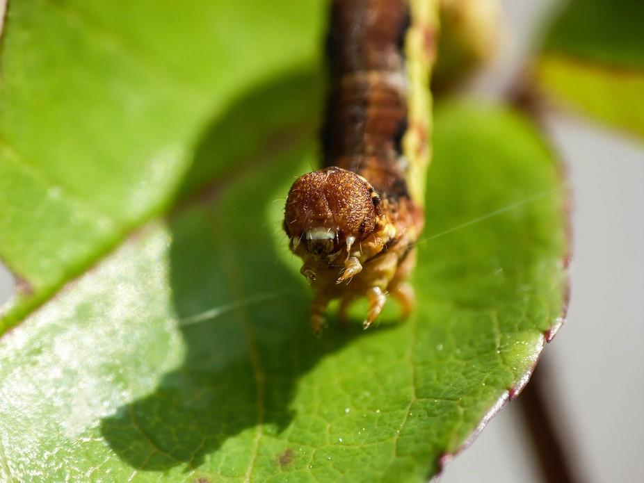 Gusjenica_02 / caterpillar