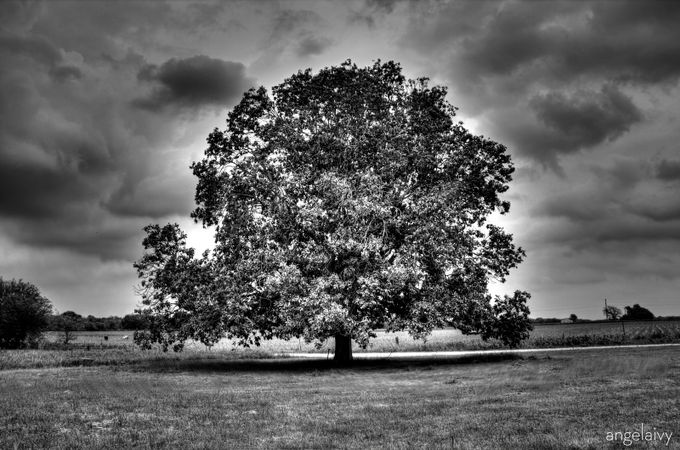 Texas Tree by AngelaIvyCreative - Black And White Compositions Photo Contest