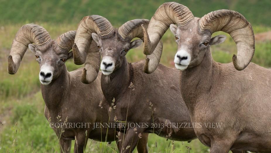 What is better than 2 Bighorn Rams?   3 Bighorn Rams!!