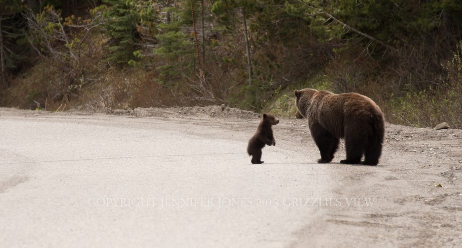 Little grizzly bear cub was following after his mother and at one point, stood up as if asking he...