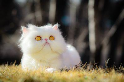 Himalayan Cat2