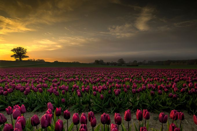 Tulips in the sunset by kimschou - Photofocus Feature Photo Contest Volume 1