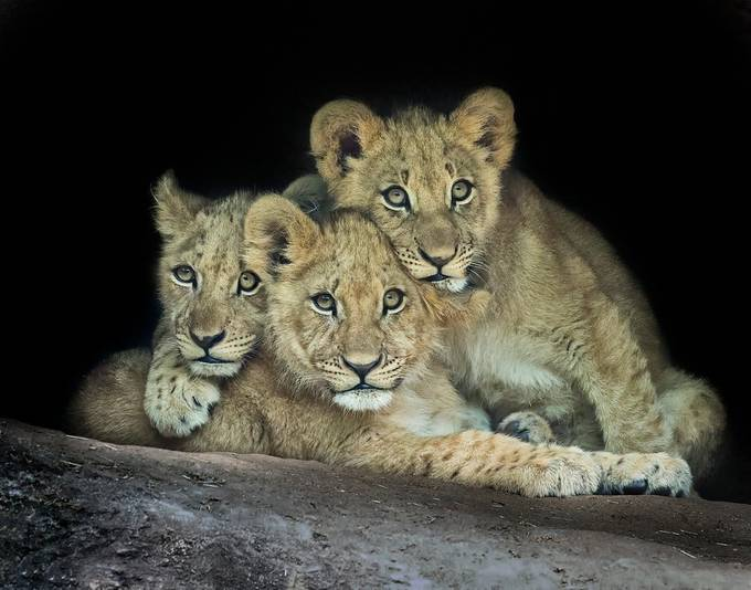 Lion Cubs by LindaDLester - Baby Animals Photo Contest