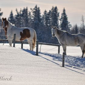 Horses watching me on a beautiful winter day