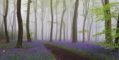 Bluebell Heaven