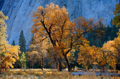 Black Oak in Yosemite Valley