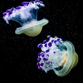 These jellies remind me of purple spaceships flying through the star-filled sky! Mediterranean Jellies in Vancouver, BC, Canada