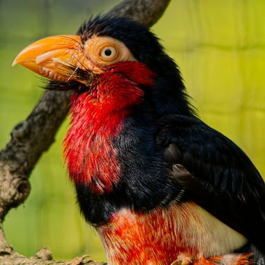 A bearded Barbet although colourful has this amazing Beard