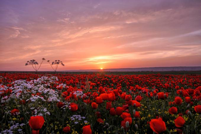 Poppy field by Alovaddin - Alluring Landscapes Photo Contest