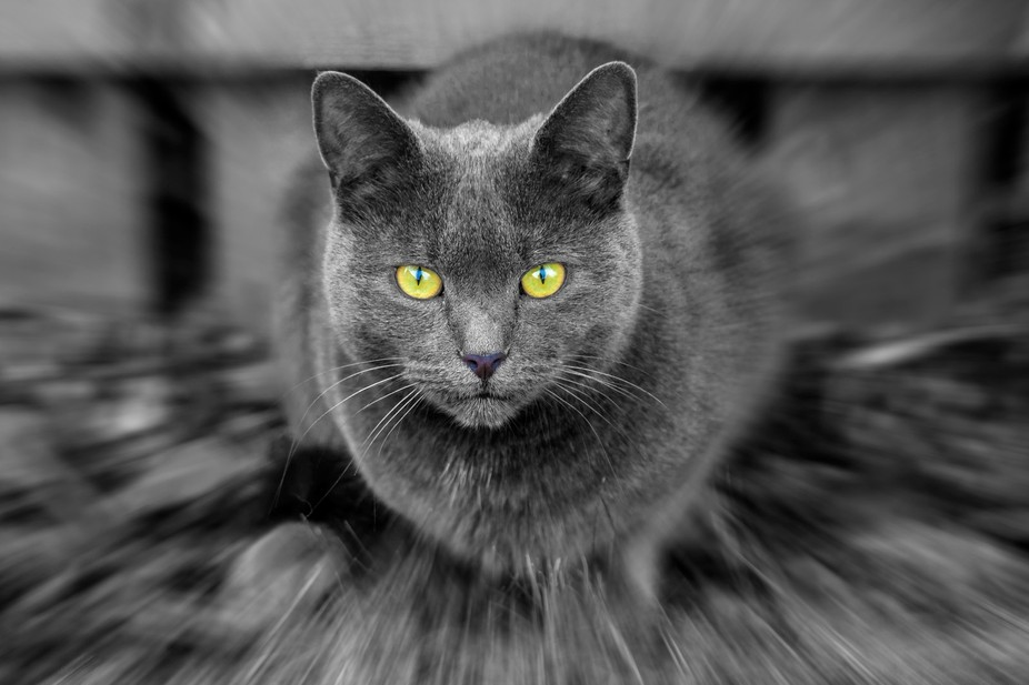 A shot taken of my friends cat Smudge, which has the fantastic character, even after surviving ma...