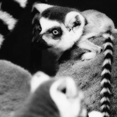 Lemur III